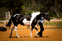 Senior Friesian Warmblood